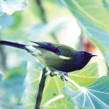 The Bellbirds